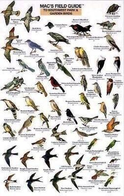 Mac's Field Guide to Southwest Park/Garden Birds als Taschenbuch