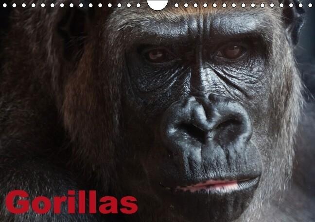 Gorillas / Geburtstagskalender (Wandkalender immerwährend DIN A4 quer) als Kalender