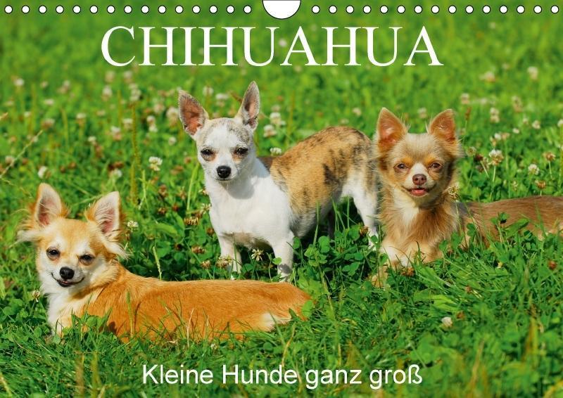 Chihuahua - Kleine Hunde ganz groß (Wandkalende...