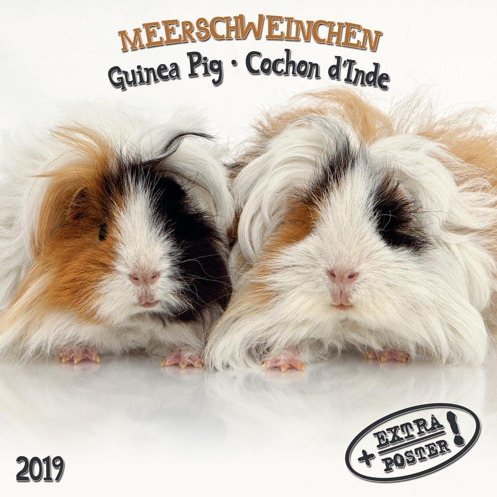 Meerschweinchen - Guinea Pig - Cochon d´Inde 20...