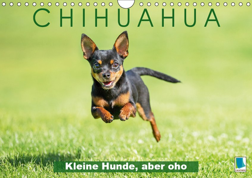 Chihuahua: Kleine Hunde, aber oho (Wandkalender...