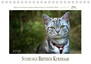 Schmusige Britisch Kurzhaar (Tischkalender 2019 DIN A5 quer)