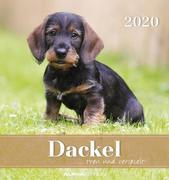 Dackel 2020 - Postkartenkalender (16 x 17)